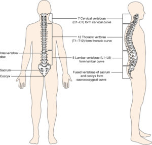 what is the ideal spinal alignment dee why chiropractic care